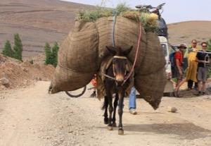N° 049 La durée de vie de la mule et du mulet va de 25 à 30 ans.